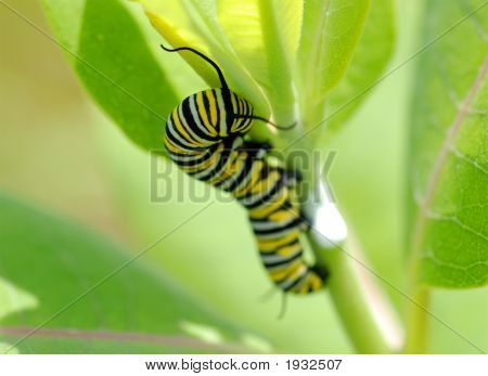 Danaus Plexippus - Monarch Caterpillar B Macro