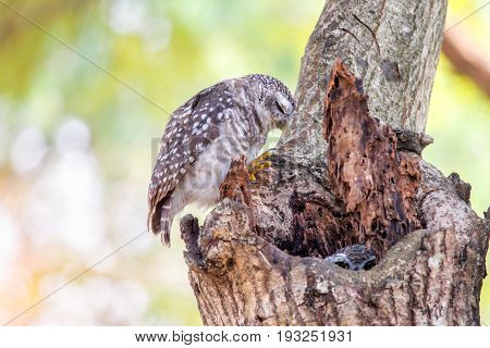 Close up of spotted owlet or athene brama bird sleeping on the tree.