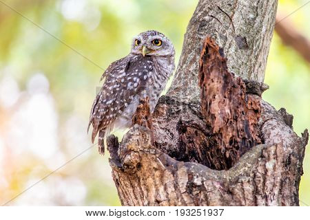Close up of spotted owlet or athene brama bird