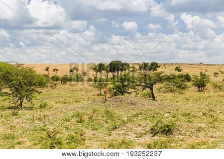 animal, nature and wildlife concept - impala or antelope with calf grazing in maasai mara national reserve savannah at africa