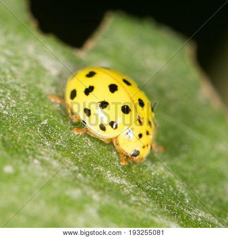 Yellow ladybug on nature. close . A photo