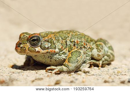 full length image of young green common toad ( Bufotes viridis )