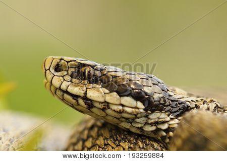 macro image of hungarian meadow viper head ( Vipera ursinii rakosiensis )