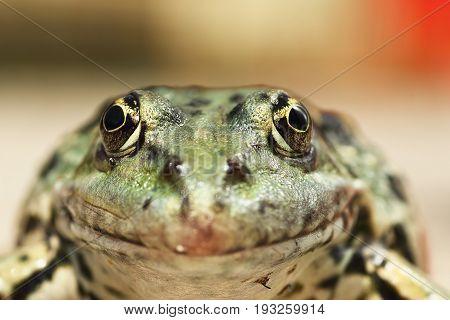 macro portrait of Pelophylax ridibundus interesting angle of view on animal head ( the common european marsh frog )