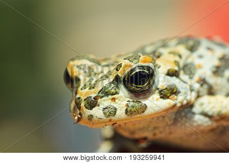portrait of cute european green toad ( Bufotes viridis )