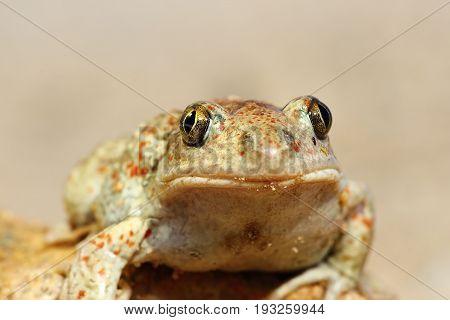 portrait of cute garlic toad ( Pelobates fuscus )