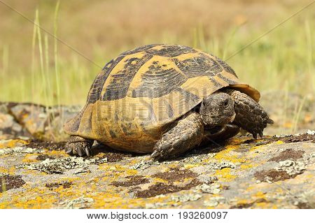 spur-thighed tortoise walking on a rock ( Testudo graeca listed as vulnerable by IUCN )
