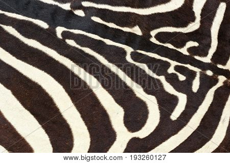 texture of wild zebra natural pelt animal fur background for your design