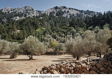 Olive grove in a mountain valley on the island of Kos in Greece