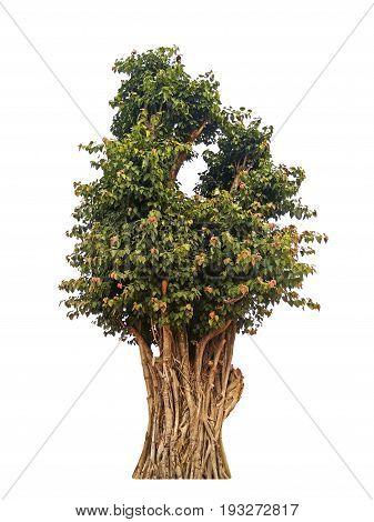 Sacred Fig or Bodhi Tree Isolated on White Background