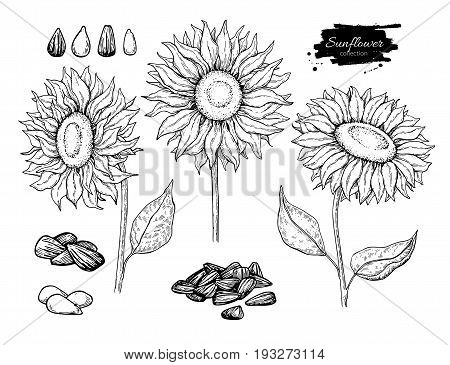 Sunflower seed and flower vector drawing set. Hand drawn isolated illustration. Food ingredient vintage sketch.  Great for oil packaging design, label, banner, poster