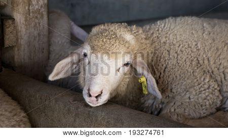 cute little sheep in farm in Thailand