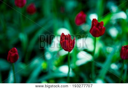 Red terry tulips background. Nature close up photo