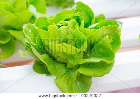 butterhead salad oganic lettuce healthy vegeterian food.