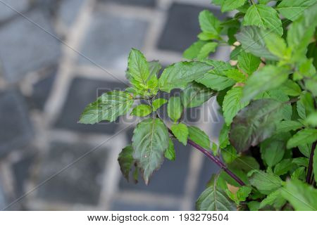 Basil Leaf,home Herbal Garden With Label, Nontoxic Clean Plant, Organic Vegetables For Food.
