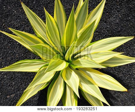 Agave succulent plant in the park of Tenerife,Canary Islands.Top view.