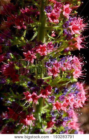 Close up of Tajinaste flower (Echium wildpretii) growing in Teide National park,Tenerife,Canary Islands.Selective focus.