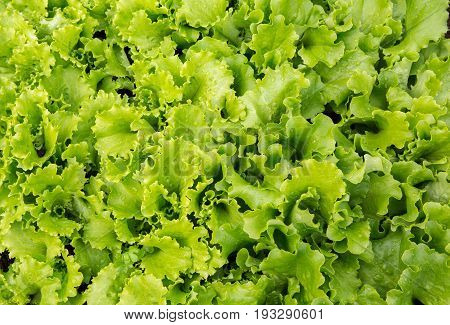 Lettuce plants in growth at field. Fresh lettuce leaves.