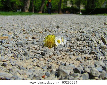 Stolen beauty - cutted off dandelion and daisy in one park of Sofia city
