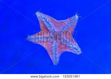 Blue Star Fish In Underwater At Aquarium