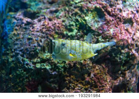 White-spotted Puffer (arothron Hispidus). Marine Fish In Blue Water