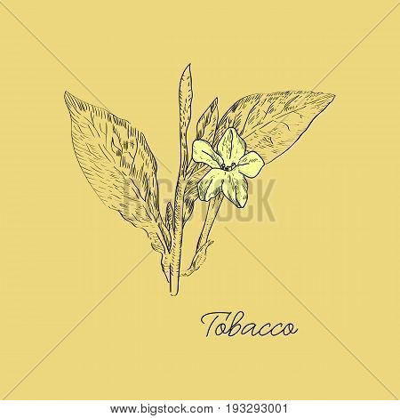 Vector Drawn Tobacco Leaves With Flowers In A Sketch Style. Botanical Illustration.