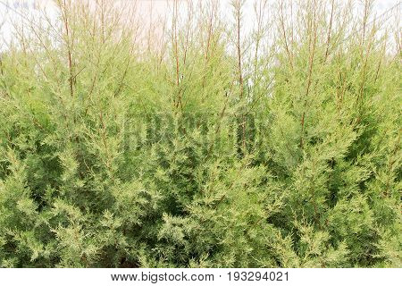 Green hedge of thuja trees near the white wall