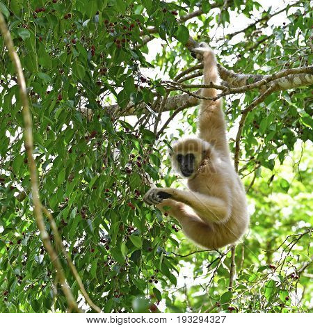 Beautiful White Gibbon