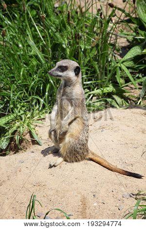 A meerkat sitting on a rock keeping an alert guard