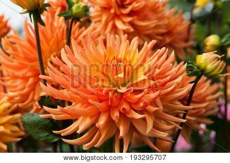 Orange flower Dahlia in the garden close up