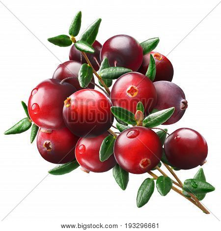 Wild Cranberry bouquet (Vaccinium oxycoccus) clipping paths