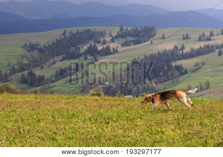 Hunting dog runs along the mountainside against the backdrop of the carpathian mountain scenery