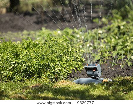 Bushes of parsley onion and lawn grass water the lawn sprinkler