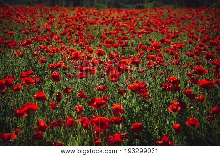 poppy seed or red flower in field on green stem summer and spring drug and love intoxication opium