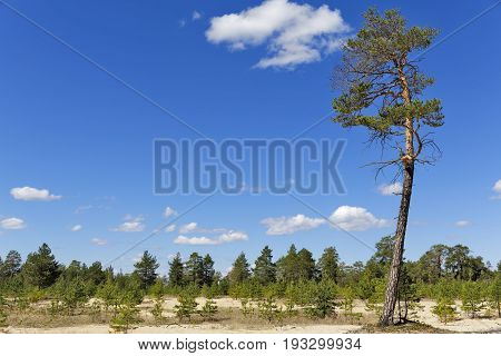 A typical summer Siberian landscape, pine and sand