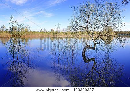Siberian landscape: curved trunk of a birch in the middle of a flooded lake