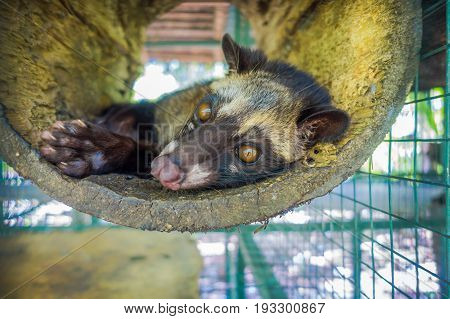 The animal, used for the production of expensive most gourmet coffee Kopi Luwak, in Bali Indonesia.