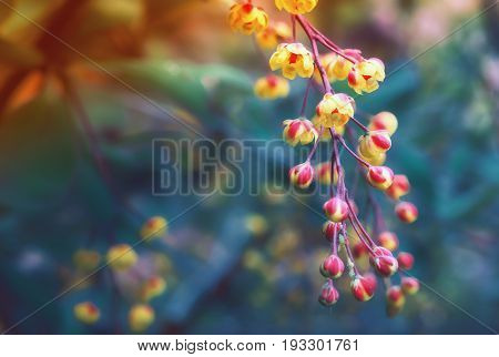 Yellow with red flowers of blooming barberry closeup on a blurred background. Selective focus toned.
