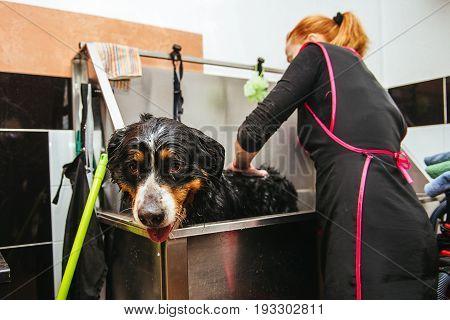washing Berner Sennenhund in front of haircut professional hairdresser. dog wash before shearing