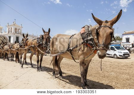 El Rocio Spain - June 2 2017: Pilgrims with a donkey cart with seven donkeys in El Rocio during the Romeria 2017. Province of Huelva Almonte Andalusia Spain