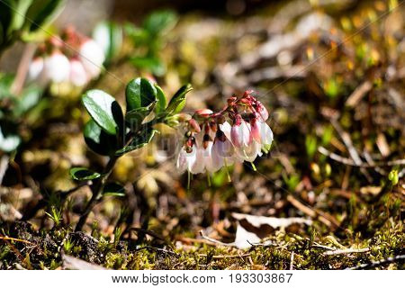Very beautiful flowers, very delicious berries cranberries. Its bushes are very small and spruce visible in a different grass, it is rather difficult to notice them. Often meets in the forest and swampy place.
