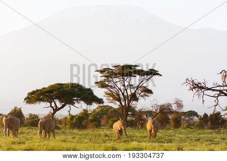 Savanna of Amboseli. Kilimanjaro mountain. Kenya, Eastest Africa
