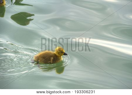 A baby duck on the water in High Dynamic Range.