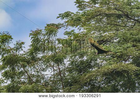 Scarvenger Bird Flying
