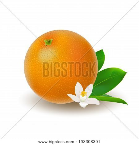 Isolated colored whole juicy orange with green leaf white flower and shadow on white background. Realistic citrus fruit