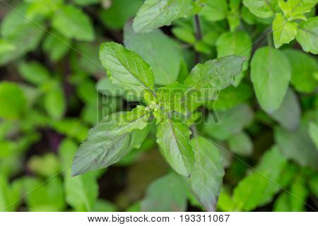 Basil leaf Home herbal garden with Label Nontoxic clean plant Organic vegetables for food.