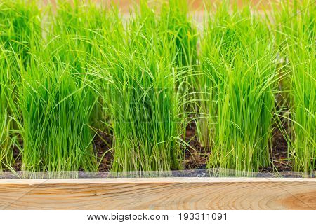 Organic Green Rice Plant, Soruce Of Chlorophyll. Nontoxic Clean Vegetable Garden For Food.