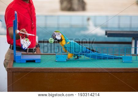 Circus Shows Of Parrots Playing Balls
