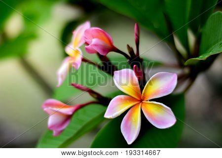 Plumeria flower pink and white frangipani tropical flower, plumeria flower blooming on tree, spa flower