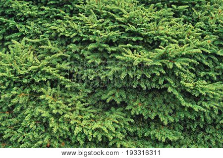 Coniferous Tree Background Or Texture
